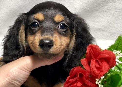 ミニチュアダックスフンド(ロング)の子犬(ID:1264611022)の1枚目の写真/更新日:2019-02-24