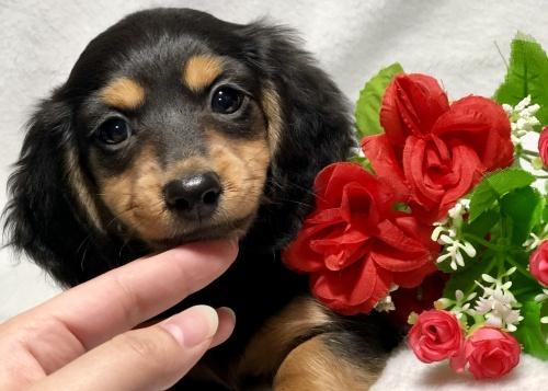 ミニチュアダックスフンド(ロング)の子犬(ID:1264611022)の2枚目の写真/更新日:2019-02-24