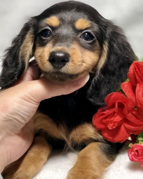 ミニチュアダックスフンド(ロング)の子犬(ID:1264611022)の3枚目の写真/更新日:2019-02-24