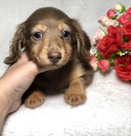ミニチュアダックスフンド(ロング)の子犬(ID:1264611023)の1枚目の写真/更新日:2019-04-02