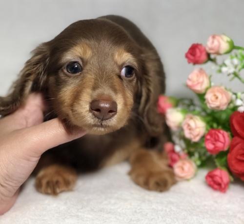 ミニチュアダックスフンド(ロング)の子犬(ID:1264611023)の2枚目の写真/更新日:2019-04-02