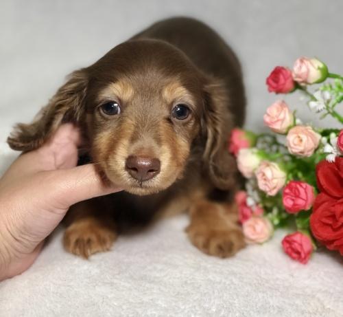 ミニチュアダックスフンド(ロング)の子犬(ID:1264611023)の3枚目の写真/更新日:2019-04-02