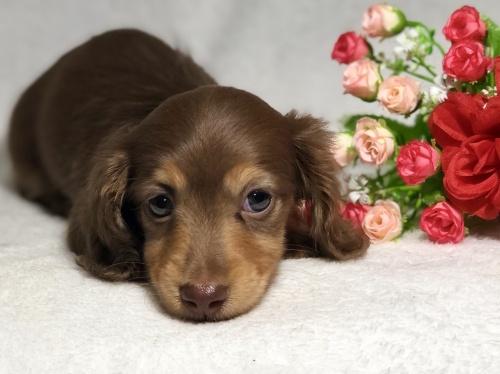 ミニチュアダックスフンド(ロング)の子犬(ID:1264611023)の4枚目の写真/更新日:2019-04-02