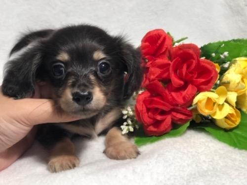 ミニチュアダックスフンド(ロング)の子犬(ID:1264611026)の1枚目の写真/更新日:2019-10-31