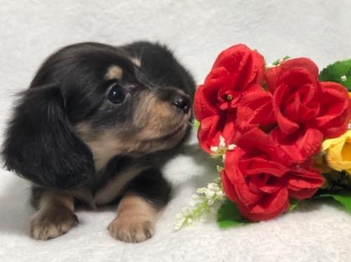 ミニチュアダックスフンド(ロング)の子犬(ID:1264611026)の2枚目の写真/更新日:2019-10-31