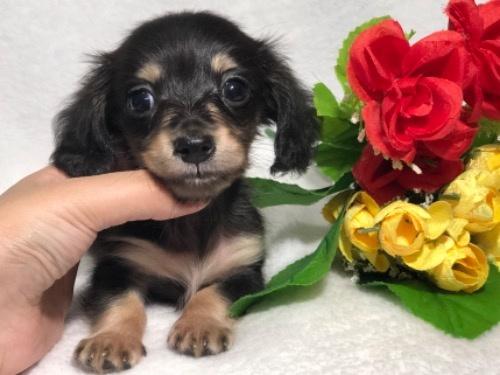 ミニチュアダックスフンド(ロング)の子犬(ID:1264611026)の3枚目の写真/更新日:2019-10-31