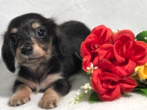 ミニチュアダックスフンド(ロング)の子犬(ID:1264611026)の4枚目の写真/更新日:2019-10-31