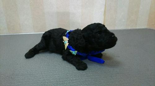 トイプードルの子犬(ID:1264711004)の3枚目の写真/更新日:2017-05-23