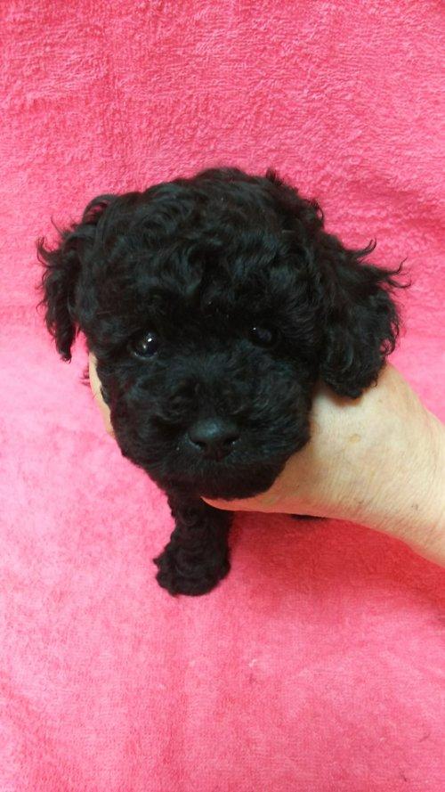トイプードルの子犬(ID:1264711006)の1枚目の写真/更新日:2018-05-30