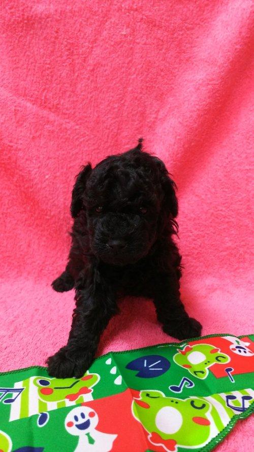 トイプードルの子犬(ID:1264711006)の2枚目の写真/更新日:2018-05-30