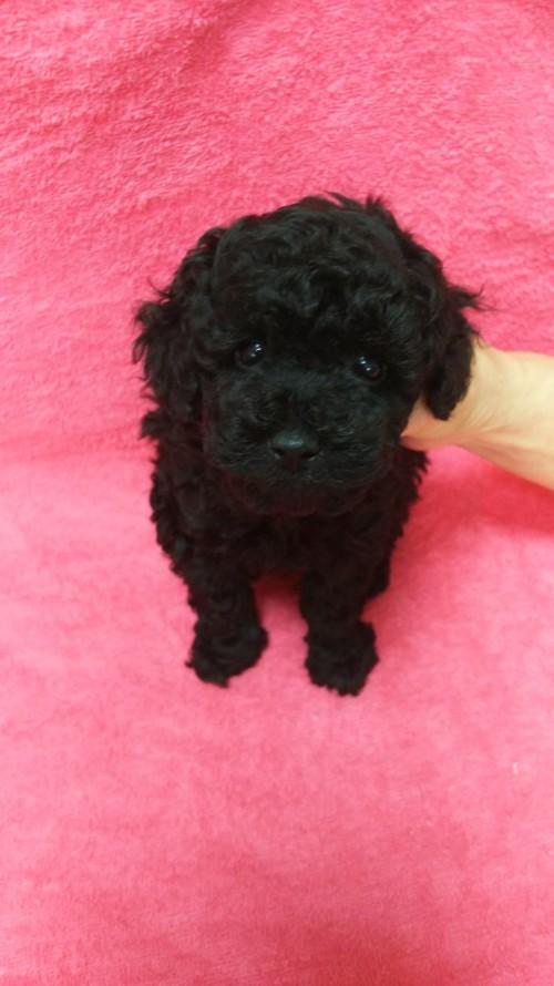 トイプードルの子犬(ID:1264711006)の4枚目の写真/更新日:2018-06-17
