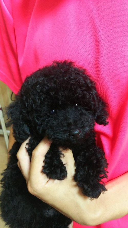 トイプードルの子犬(ID:1264711006)の6枚目の写真/更新日:2018-07-06