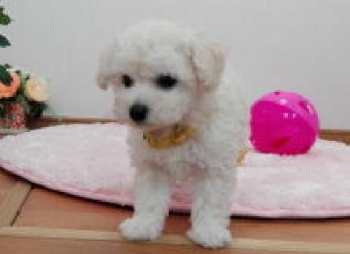 トイプードルの子犬(ID:1264911003)の1枚目の写真/更新日:2017-06-19