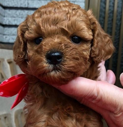 トイプードルの子犬(ID:1265211003)の1枚目の写真/更新日:2019-06-14