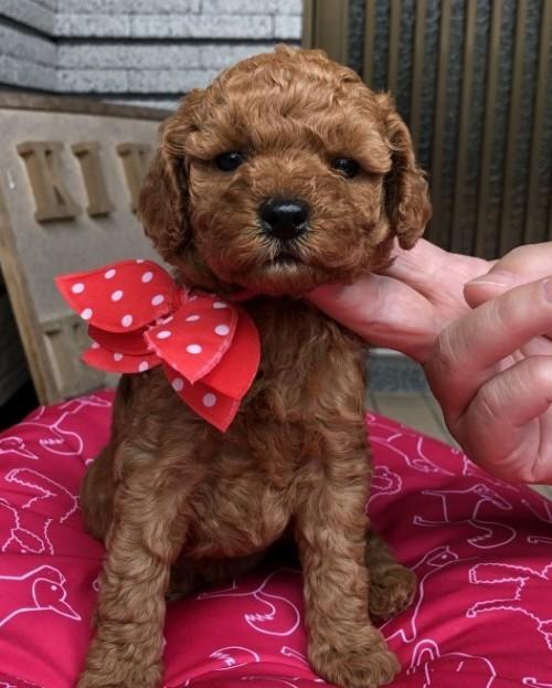トイプードルの子犬(ID:1265211003)の2枚目の写真/更新日:2019-06-14