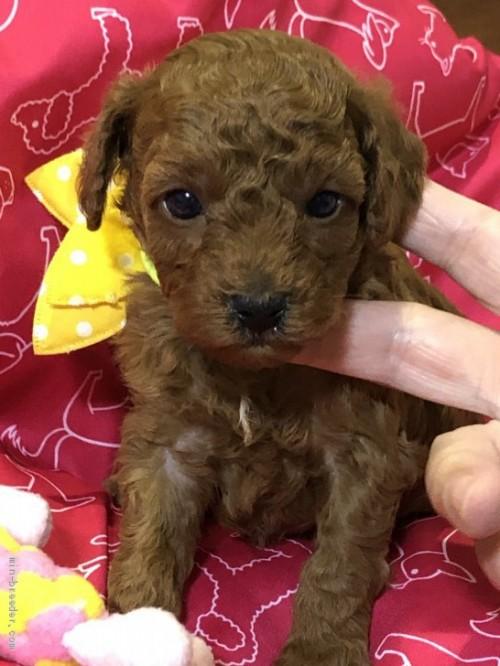 トイプードルの子犬(ID:1265211009)の1枚目の写真/更新日:2017-08-19