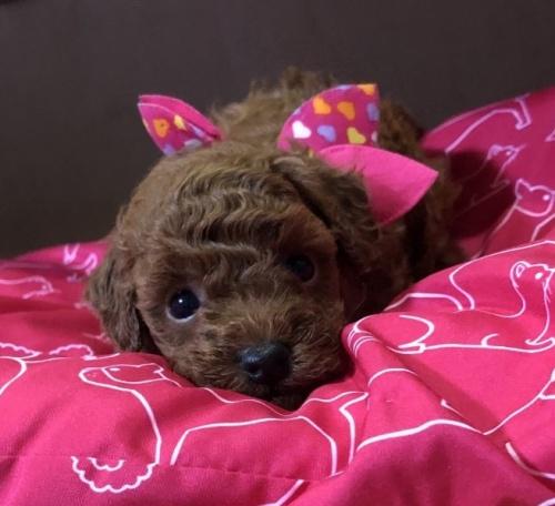 トイプードルの子犬(ID:1265211015)の1枚目の写真/更新日:2017-09-16