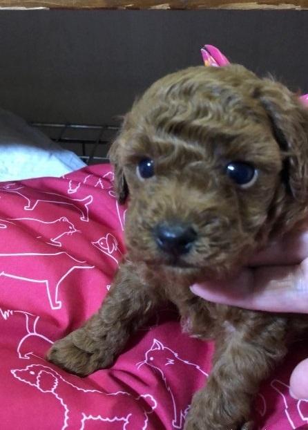 トイプードルの子犬(ID:1265211015)の2枚目の写真/更新日:2017-08-10