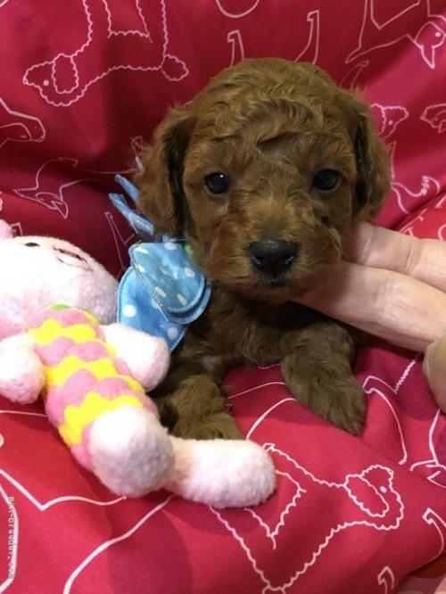 トイプードルの子犬(ID:1265211016)の1枚目の写真/更新日:2017-08-19