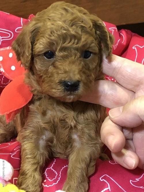 トイプードルの子犬(ID:1265211017)の1枚目の写真/更新日:2017-07-31