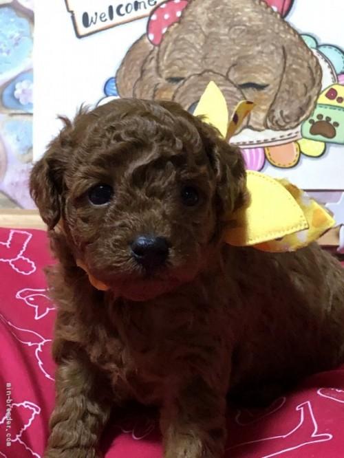 トイプードルの子犬(ID:1265211018)の1枚目の写真/更新日:2017-08-19