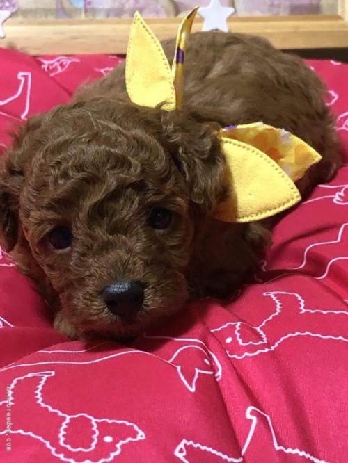 トイプードルの子犬(ID:1265211018)の2枚目の写真/更新日:2020-10-30