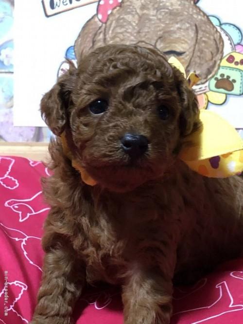 トイプードルの子犬(ID:1265211018)の3枚目の写真/更新日:2017-08-10