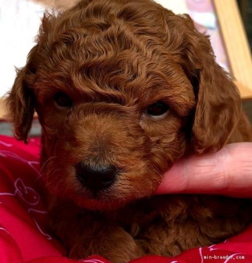 トイプードルの子犬(ID:1265211020)の1枚目の写真/更新日:2021-06-24