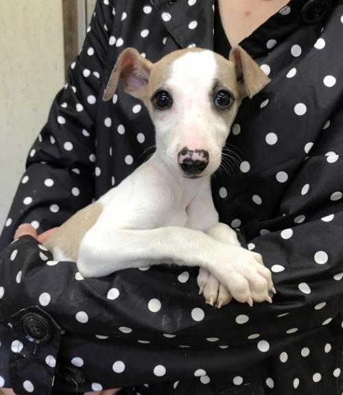 ウィペットの子犬(ID:1265311017)の1枚目の写真/更新日:2019-11-11