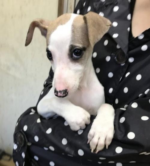 ウィペットの子犬(ID:1265311017)の2枚目の写真/更新日:2019-11-11