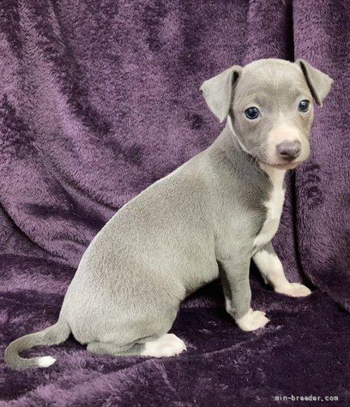 イタリアングレーハウンドの子犬(ID:1265311019)の1枚目の写真/更新日:2020-04-27