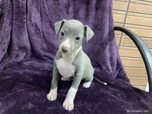 イタリアングレーハウンドの子犬(ID:1265311019)の2枚目の写真/更新日:2020-04-27