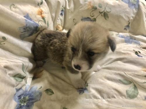 ウェルシュ・コーギー・ペンブロークの子犬(ID:1265311020)の3枚目の写真/更新日:2019-06-11