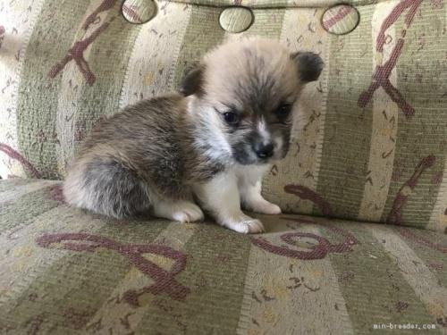 ウェルシュ・コーギー・ペンブロークの子犬(ID:1265311021)の1枚目の写真/更新日:2019-06-11