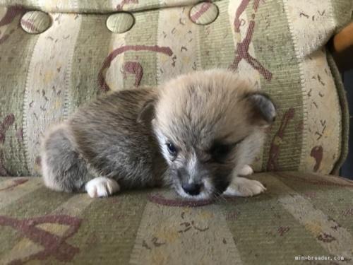 ウェルシュ・コーギー・ペンブロークの子犬(ID:1265311021)の2枚目の写真/更新日:2019-06-11
