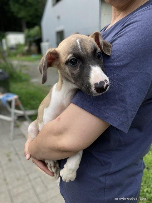 ウィペットの子犬(ID:1265311038)の1枚目の写真/更新日:2021-08-30