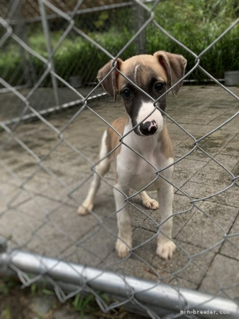 ウィペットの子犬(ID:1265311038)の3枚目の写真/更新日:2021-08-30