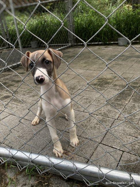 ウィペットの子犬(ID:1265311038)の4枚目の写真/更新日:2021-08-30