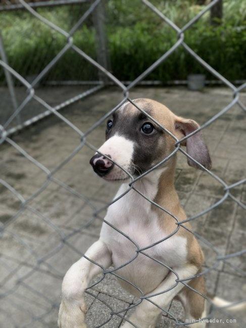 ウィペットの子犬(ID:1265311038)の5枚目の写真/更新日:2021-08-30