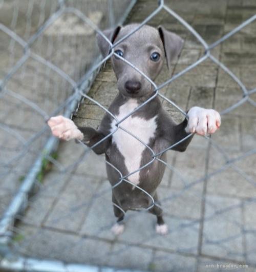 イタリアングレーハウンドの子犬(ID:1265311040)の2枚目の写真/更新日:2021-08-30