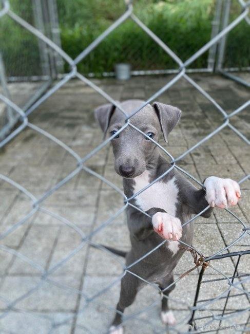 イタリアングレーハウンドの子犬(ID:1265311040)の4枚目の写真/更新日:2021-08-30