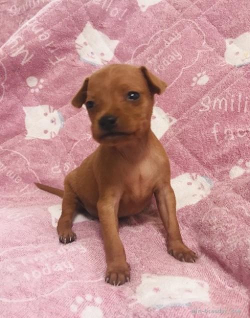 ミニチュアピンシャーの子犬(ID:1265311041)の1枚目の写真/更新日:2020-04-01