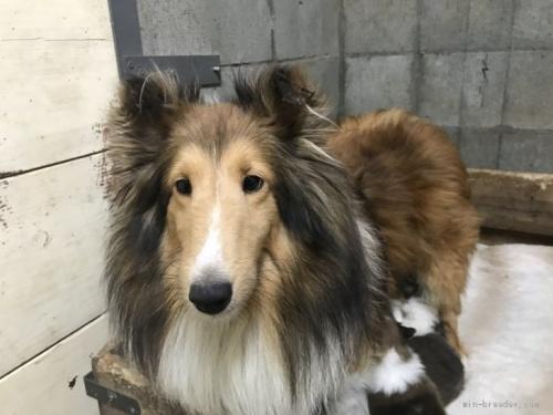 シェットランドシープドッグの子犬(ID:1265311045)の3枚目の写真/更新日:2020-06-03