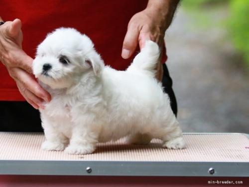 マルチーズの子犬(ID:1265311054)の4枚目の写真/更新日:2021-08-07