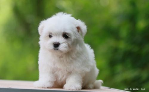 マルチーズの子犬(ID:1265311055)の1枚目の写真/更新日:2021-08-07