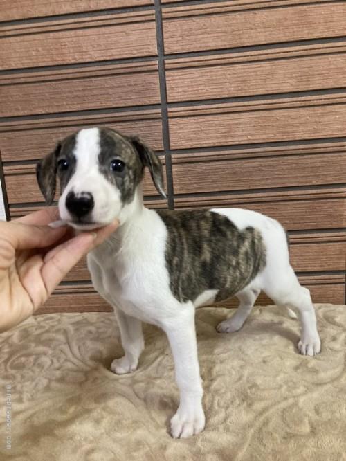 ウィペットの子犬(ID:1265311056)の4枚目の写真/更新日:2021-08-30