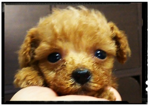トイプードルの子犬(ID:1265411002)の1枚目の写真/更新日:2018-07-19