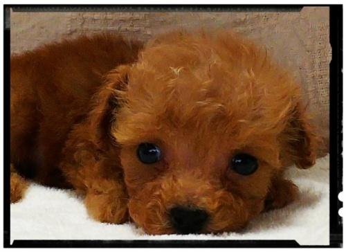 トイプードルの子犬(ID:1265411002)の2枚目の写真/更新日:2018-07-19