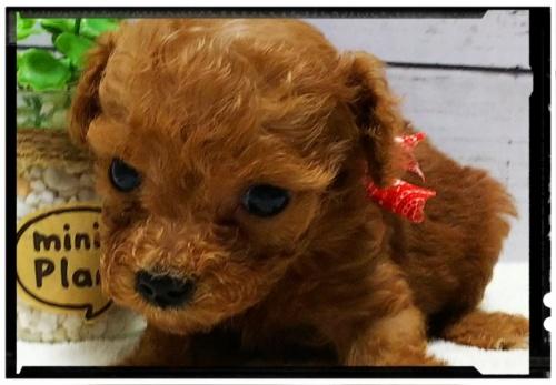 トイプードルの子犬(ID:1265411002)の3枚目の写真/更新日:2018-07-19