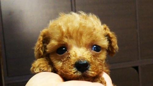 トイプードルの子犬(ID:1265411002)の4枚目の写真/更新日:2018-07-19